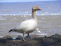 Snow goose – Cap Tourmente National Wildlife Area, QC – June 17, 2008 – Cephas