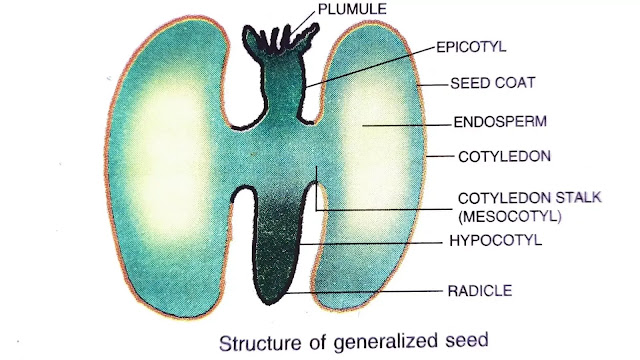 structure of seed