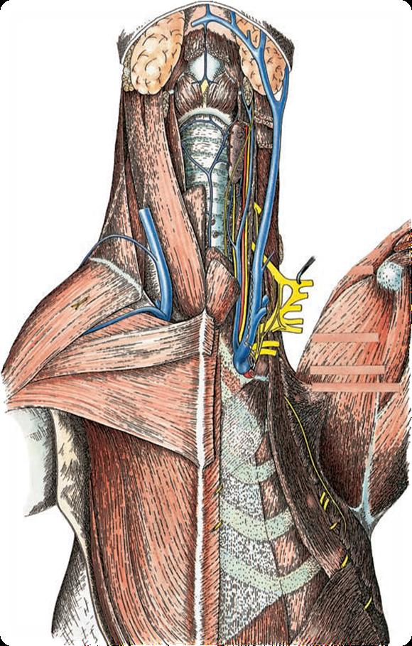 Anatomía veterinaria: PLEXO BRAQUIAL