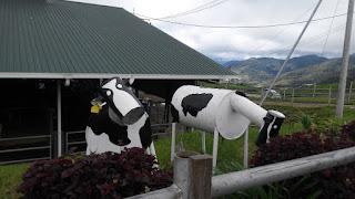 lembu di kundasang,new zealand sabah,kaum suluk,sulu,tawau,lahad datu