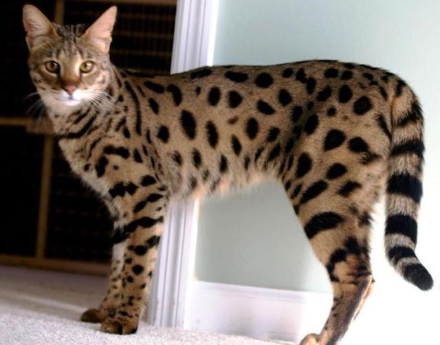 The Ashera Cat adalah kucing termahal di dunia