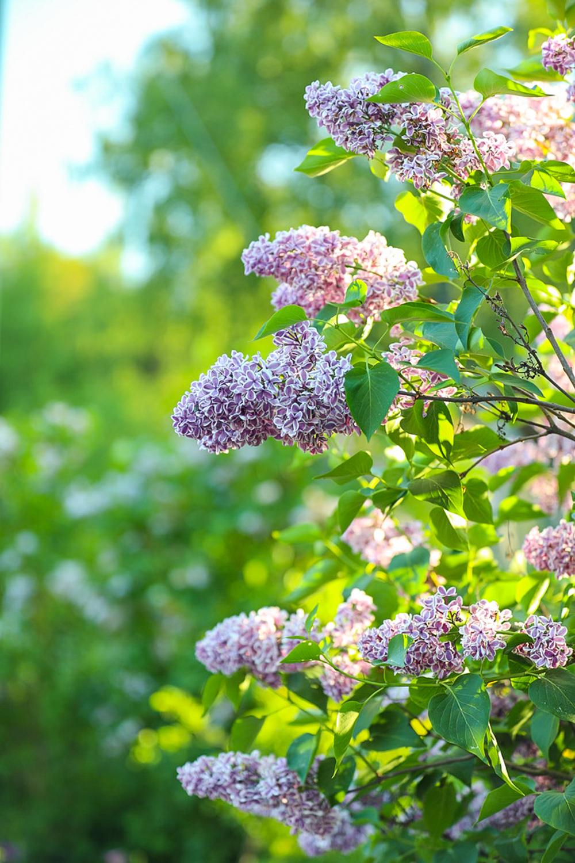 suuret-kukkivat-pensaat-100outdoor
