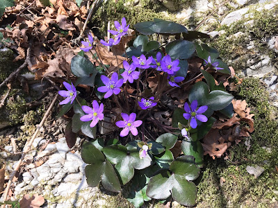 Hepatica nobilis. A welcome splash of color in the brown leaves.