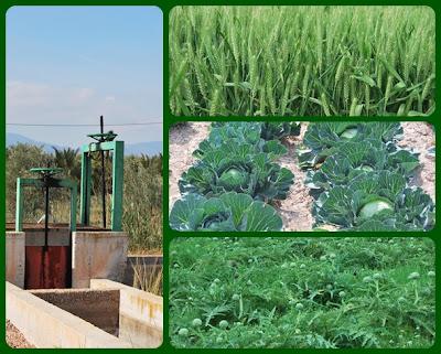 Diferentes tipos de plantaciones, alcachofas, coles, cereales y compuestas de la acequia