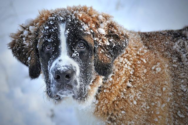 كلب مغطي بالجليد