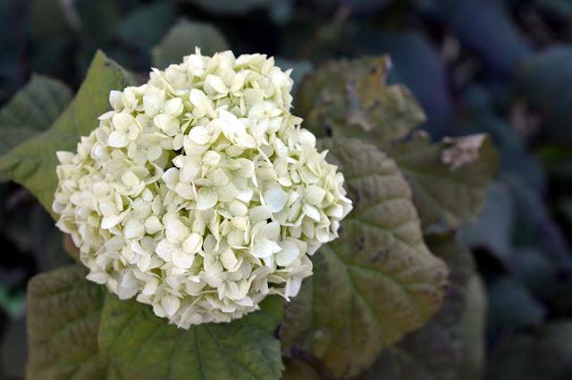 biała hortensja ogrodowa w czasie kwitnienia