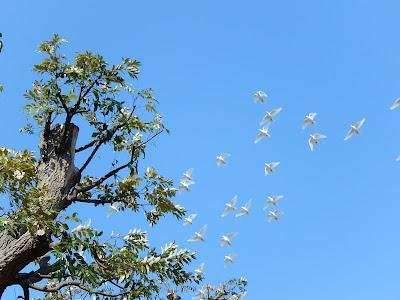 鶴岡八幡宮源氏池の白鳩