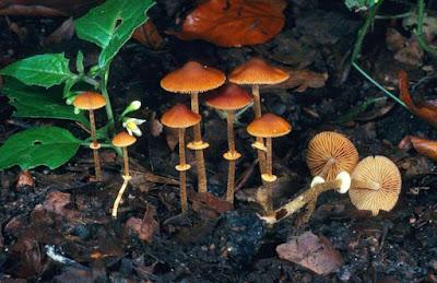 beberapa jamur jamur berbahaya Conocybe Filaris