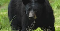 Colorado Parks and Wildlife search for bear after aggressive confrontation with hiker and his two dogs