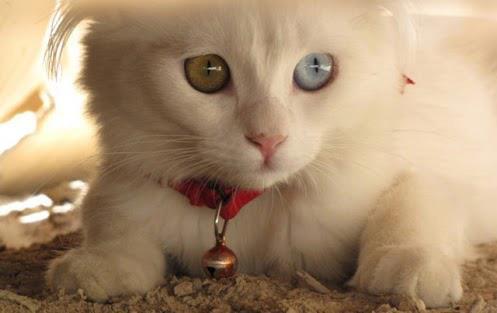 gatito ojos azul y verde