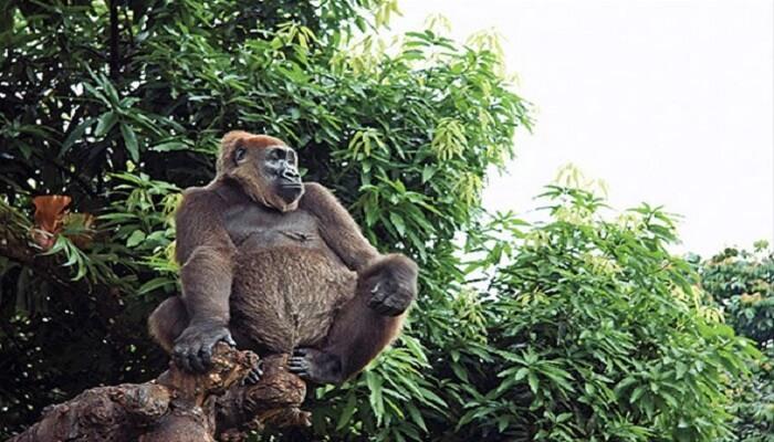 Nesli Tükenmek Üzere Olan Hayvanlar - Cross River Gorili - Kurgu Gücü