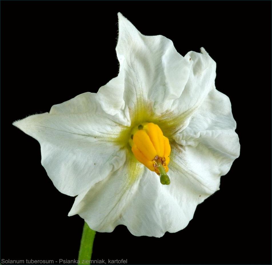 Solanum tuberosum - Psianka ziemniak, kartofel kwiat
