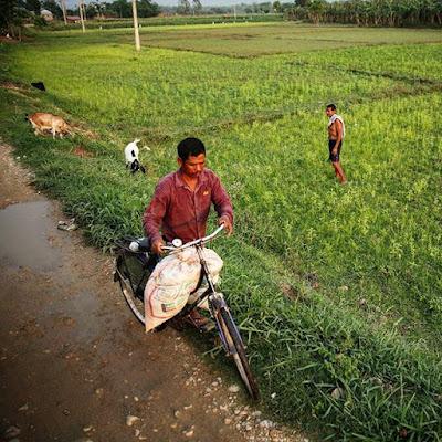 Campos de arroz Tharu en Chitwan