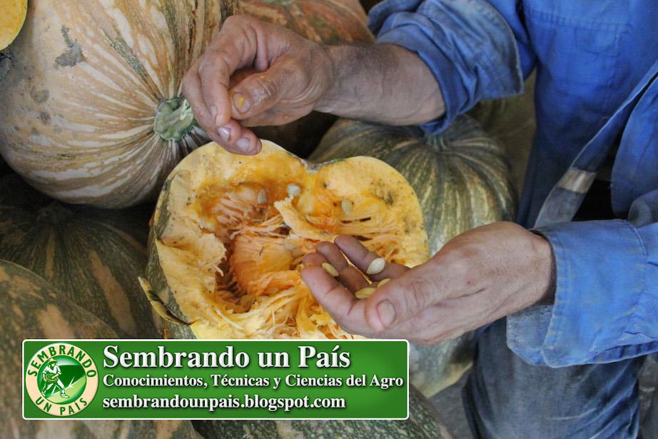 semillas de auyama o zapallo