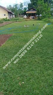 suplay rumput gajah mini di kabupaten malang tahun 2020