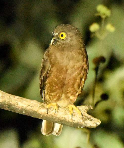Indian birds - Image of Hume's hawk-owl - Ninox obscura