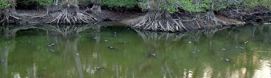 Decenas de caimanes nadando en la reserva natural