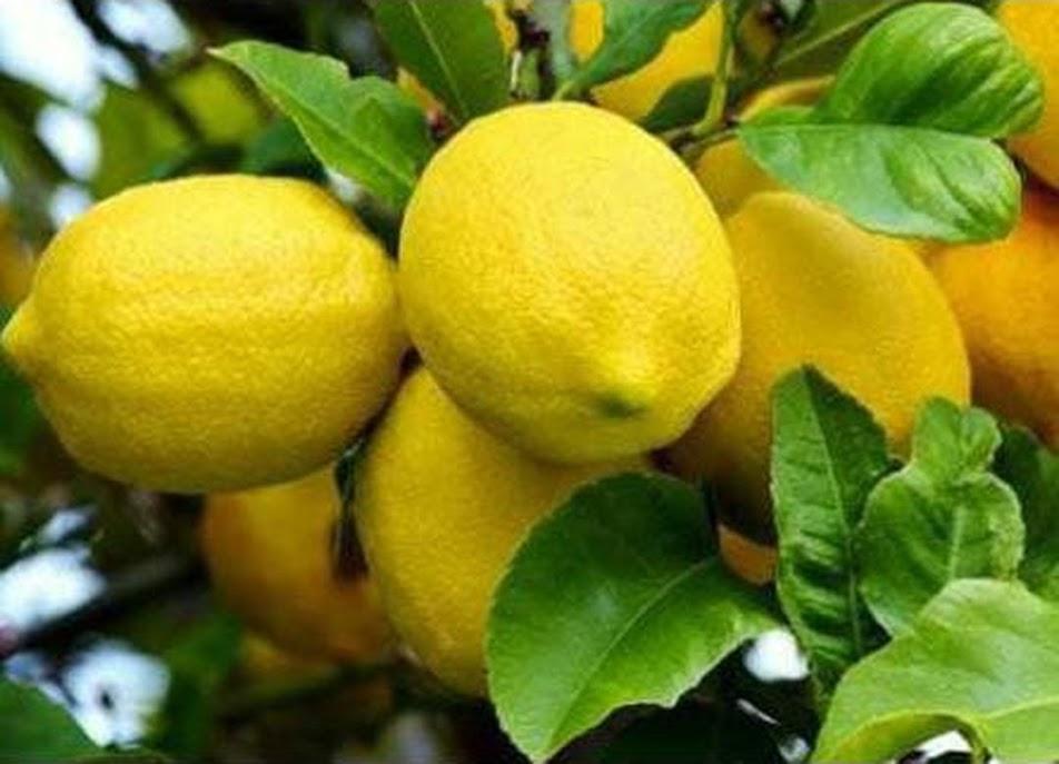 Bibit Tanaman Buah Jeruk Lemon Tea Terbaru Kalimantan Tengah