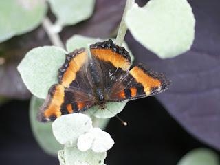 Aglais milberti - Petite vanesse - Nymphalis milberti