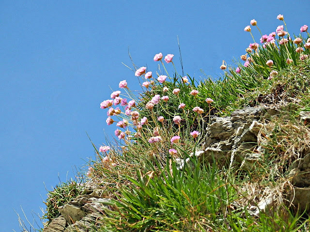 Thrift flowers on cliffs, Cornwall