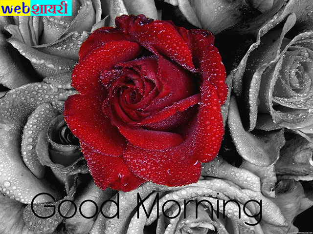 red rose good morning photos download, good morning  rose good morning romantic rose