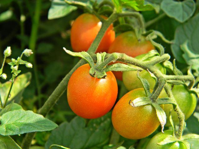 czerwony, roślina, warzywa, ogród