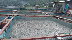 Ratusan Ton Ikan di KJA Warga Mati, Bau Busuk Tercium di Pangururan