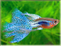 Guppy Fish Pictures