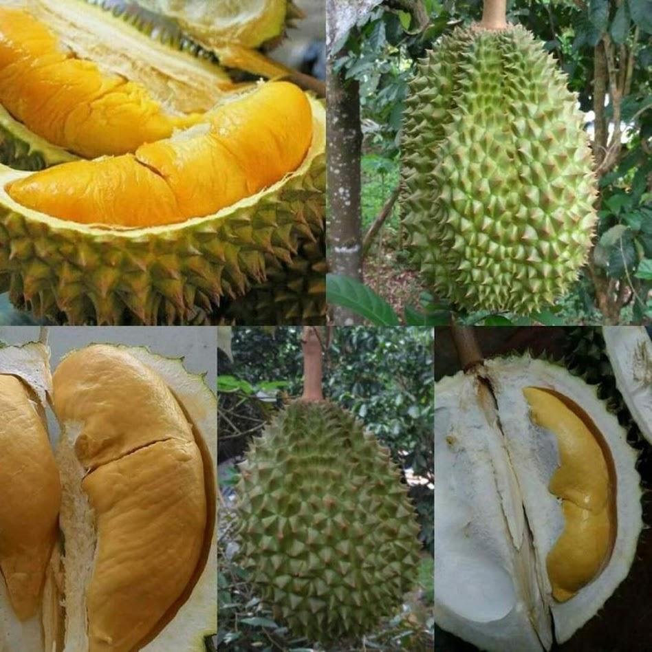BIBIT DURIAN BAWOR KAKI 3 SUPER Sumatra Selatan