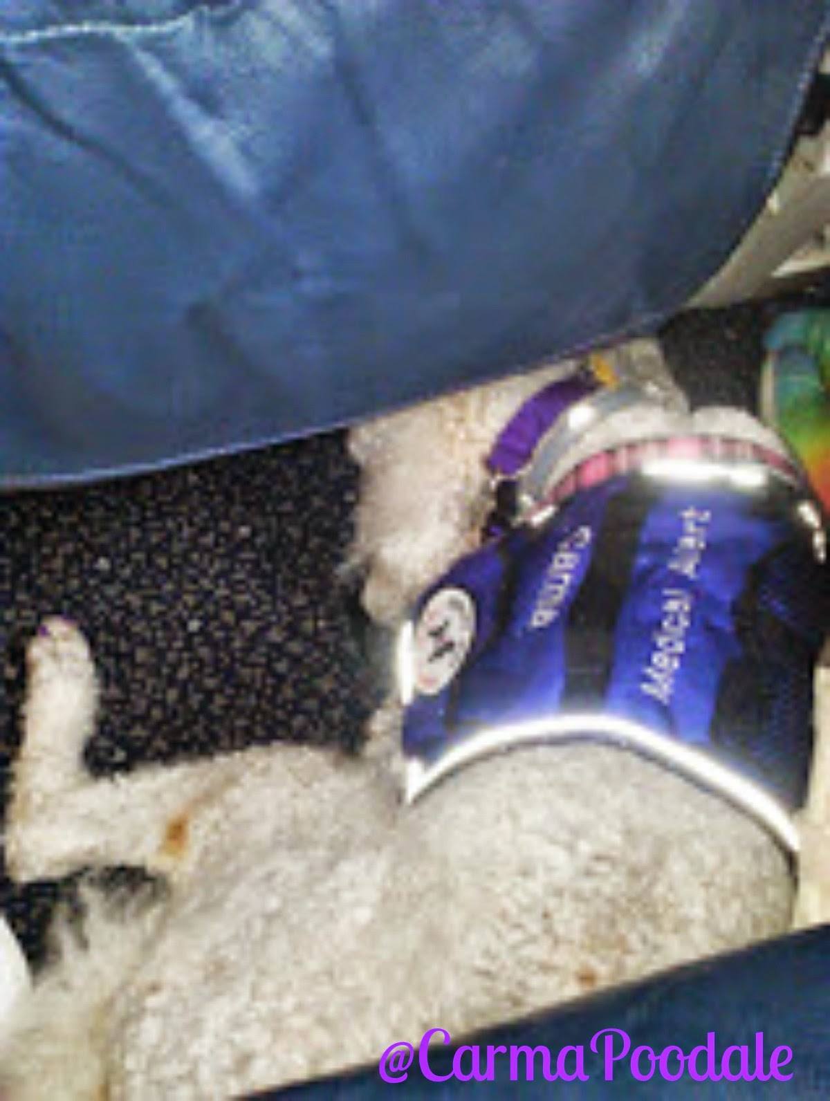 Poodle laying under seat