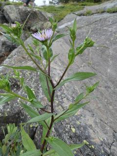 Aster de la Nouvelle-Belgique - Symphyotrichum novi-belgii