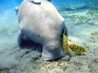 Fakta dan informasi unik tentang Ikan Duyung
