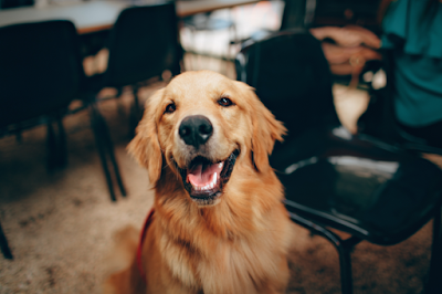 A Golden Retriever sitting among chairs is smiling at the camera