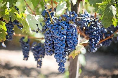 bentuk buah anggur