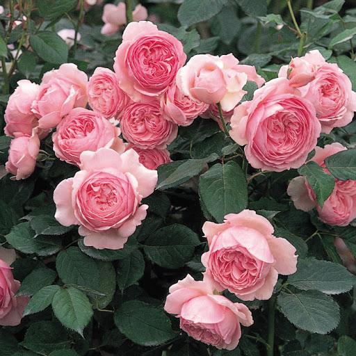 hoa hồng không gai