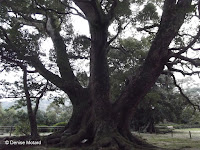 The 700 year old tree,  Isahaya Park - Nagasaki, Japan