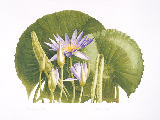 Pandora Sellars - Blue Water Lily Nymphaea nouchali var. caerulea, (1995), watercolour on paper
