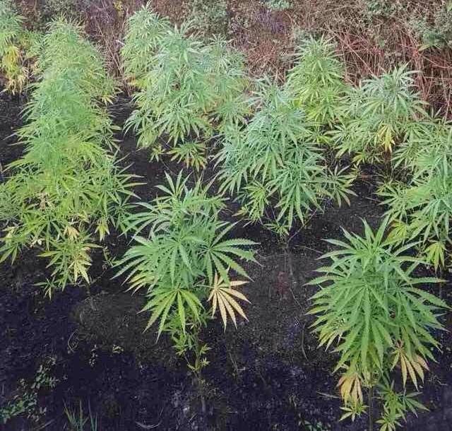 Φυτεία με 28 δέντρα κάνναβης εντόπισε η αστυνομία