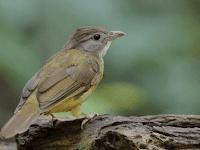 8 Suara Burung Cucak Jenggot Gacor Panjang