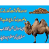 After eating camel meat, wudu is to be done again?