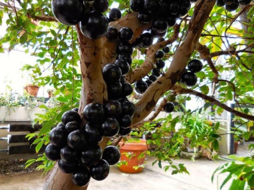 bibit anggur pohon preco Jabotikaba benih tanaman buah bisa untuk tabulampot Padang
