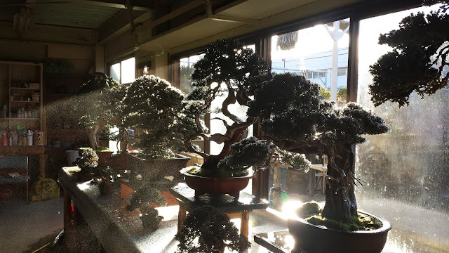 Indoor Bonsai on display during a cold winter day exposed to sunlight