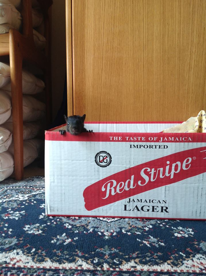 Rocky The Squirrel in Red Stripe Jamaican Lager Box
