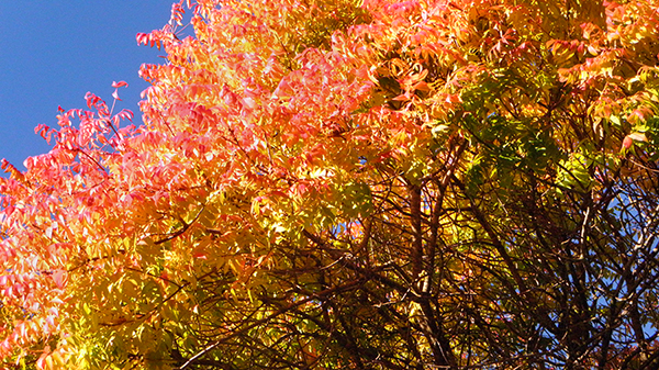 Tree with thick branches and green, yellow and red leaves