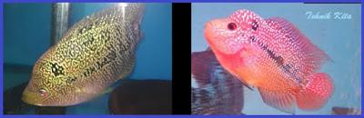 Perbedaan warna louhan jantan dan betina