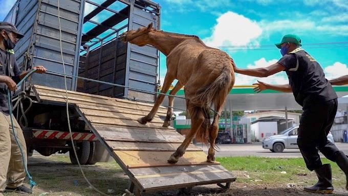 Olinda intensifica recolhimento de animais abandonados em vias públicas