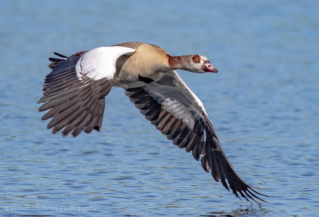 Egyptian goose over the Diep River, Woodbridge Island