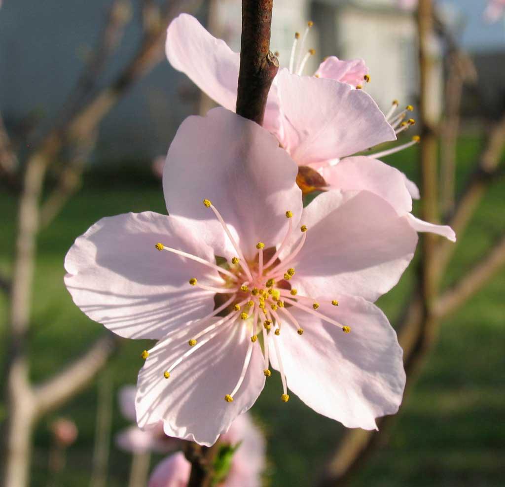 Peach Tree 2012