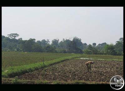 FOTO 3 : Lahan sawah yang digarap dengan air seadanya bekas hujan dan pengolahanya manual bahkan pakai tongkat ( tugal red ) tandurnya