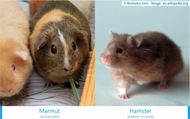 Perbedaan Marmut dan Hamster
